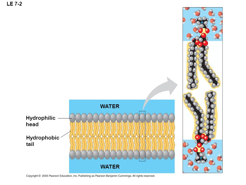 LE 7-2 Hydrophilic head Hydrophobic tail WATER