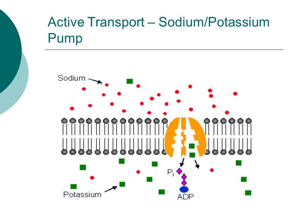 Active Transport – Sodium/Potassium Pump