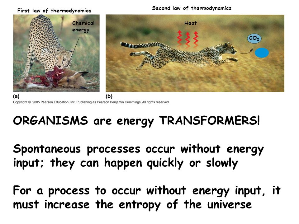 Chemical energy Heat CO 2 First law of thermodynamics Second law of thermodynamics H2OH2O ORGANISMS are energy TRANSFORMERS! Spontaneous processes occ
