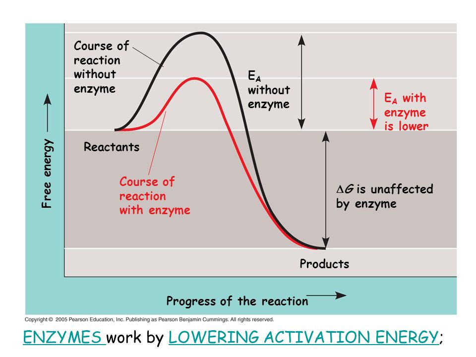 Course of reaction without enzyme E A without enzyme G is unaffected by enzyme Progress of the reaction Free energy E A with enzyme is lower Course of