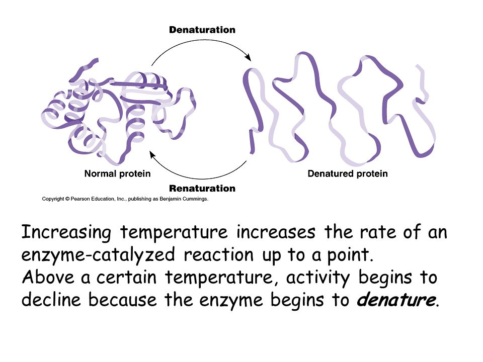Increasing temperature increases the rate of an enzyme-catalyzed reaction up to a point. Above a certain temperature, activity begins to decline becau
