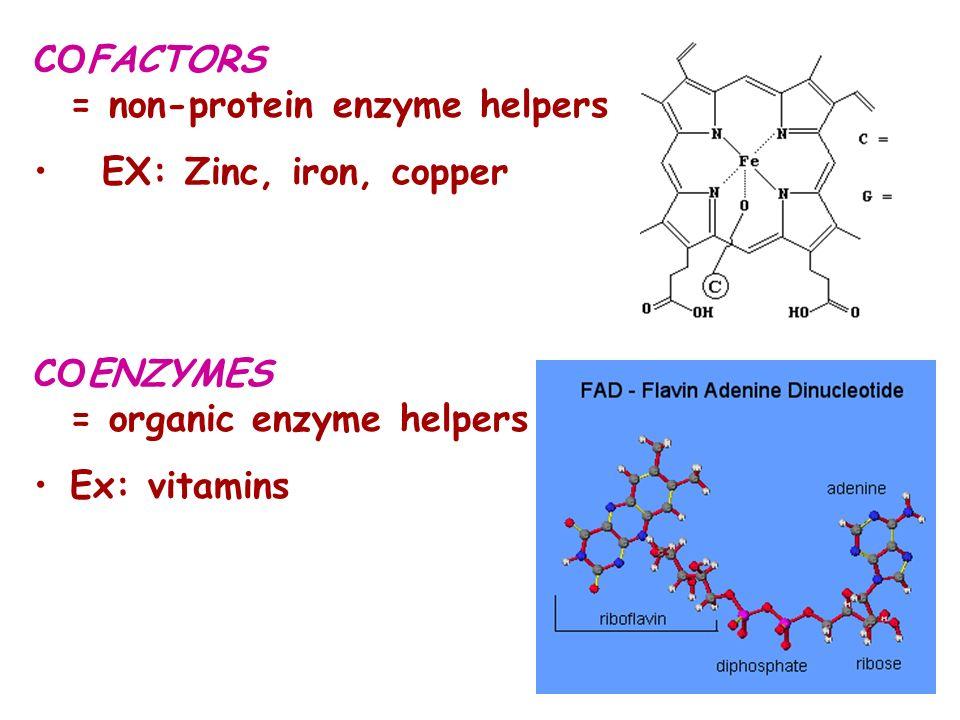COFACTORS = non-protein enzyme helpers EX: Zinc, iron, copper COENZYMES = organic enzyme helpers Ex: vitamins