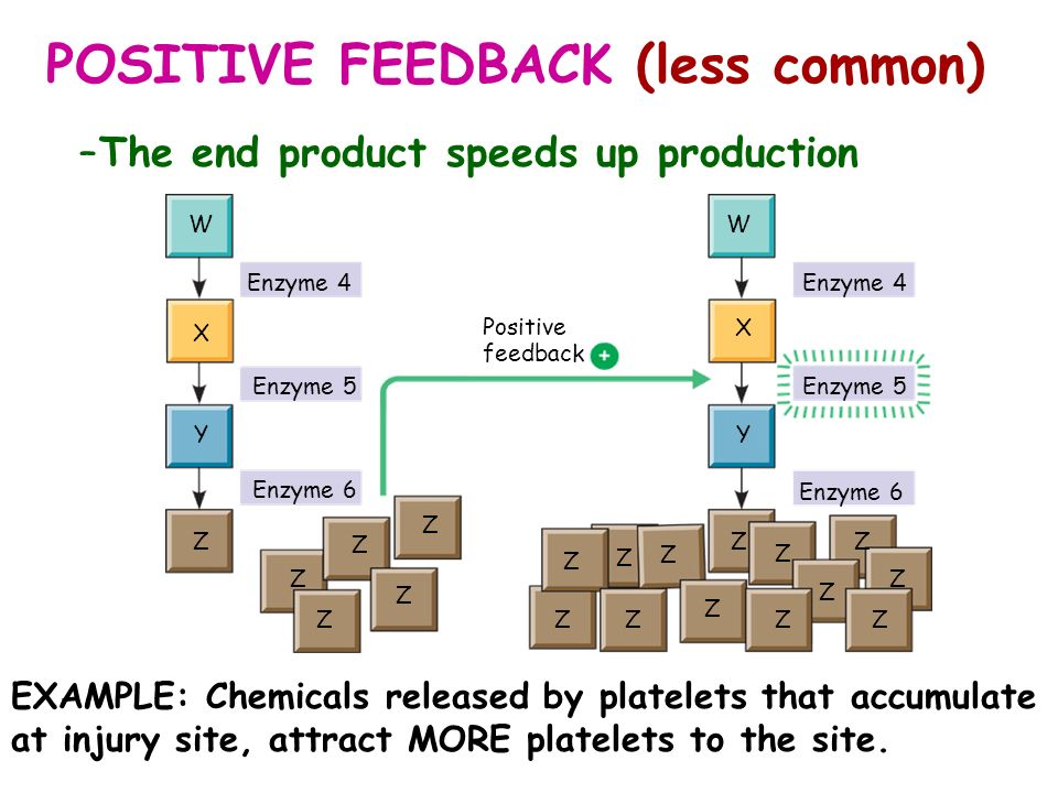 POSITIVE FEEDBACK (less common) –The end product speeds up production WW X Y Z Z Z Z Z Z Z Z Z Z Z ZZ Z ZZ Z Z Z Y X Enzyme 4 Enzyme 5 Enzyme 6 Enzyme
