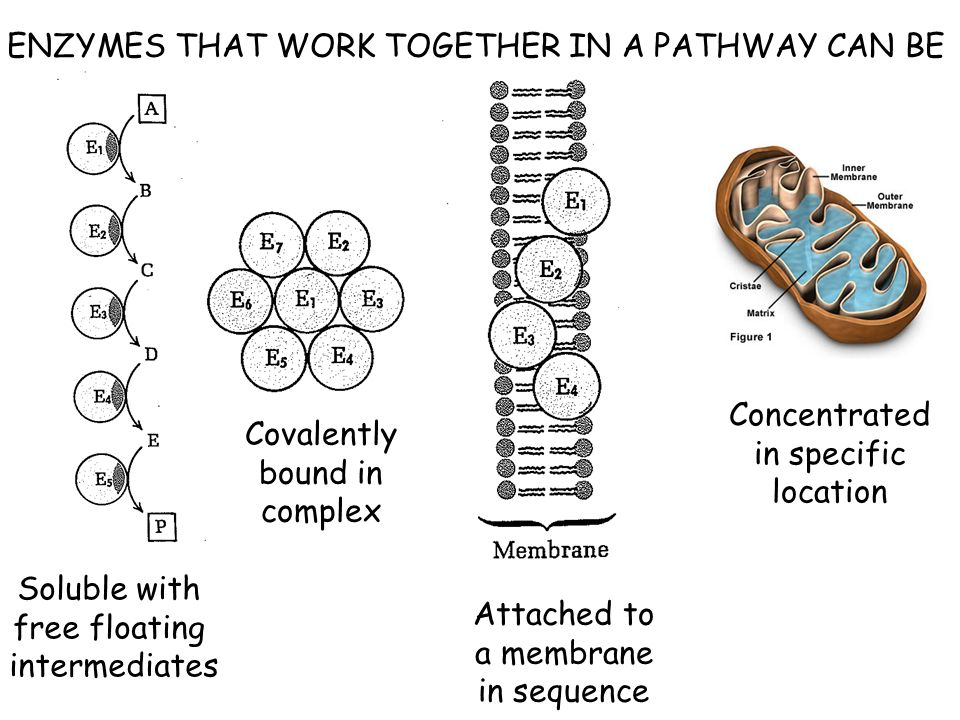 ENZYMES THAT WORK TOGETHER IN A PATHWAY CAN BE Soluble with free floating intermediates Covalently bound in complex Attached to a membrane in sequence