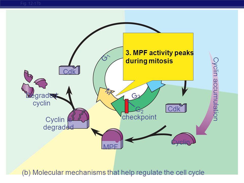 AP Biology Fig. 12-17b Cyclin is degraded Cdk MPF Cdk M S G1G1 G 2 checkpoint Degraded cyclin Cyclin (b) Molecular mechanisms that help regulate the c