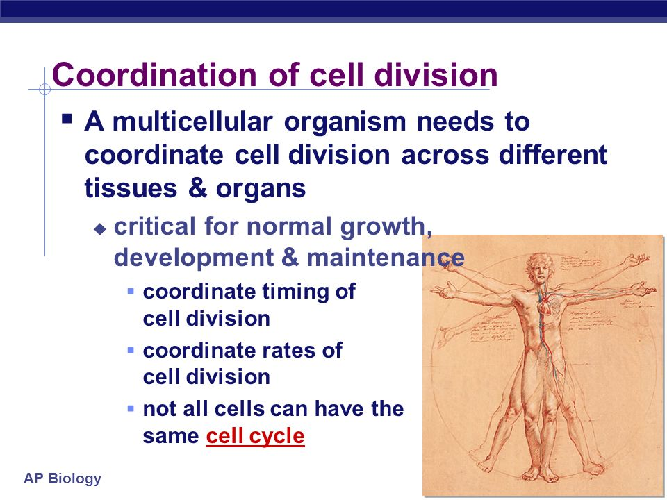 AP Biology Traditional treatments for cancers Treatments target rapidly dividing cells high-energy radiation kills rapidly dividing cells chemotherapy stop DNA replication stop mitosis & cytokinesis stop blood vessel growth