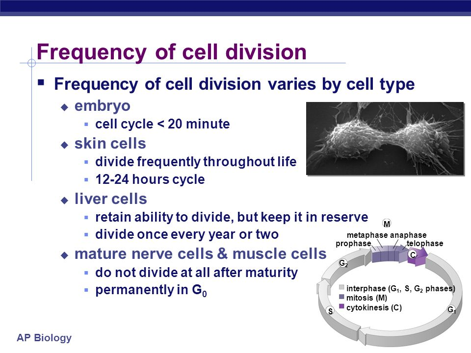 AP Biology G2G2 S G1G1 M metaphase prophase anaphase telophase interphase (G 1, S, G 2 phases) mitosis (M) cytokinesis (C) C Frequency of cell division varies by cell type embryo cell cycle < 20 minute skin cells divide frequently throughout life 12-24 hours cycle liver cells retain ability to divide, but keep it in reserve divide once every year or two mature nerve cells & muscle cells do not divide at all after maturity permanently in G 0 Frequency of cell division