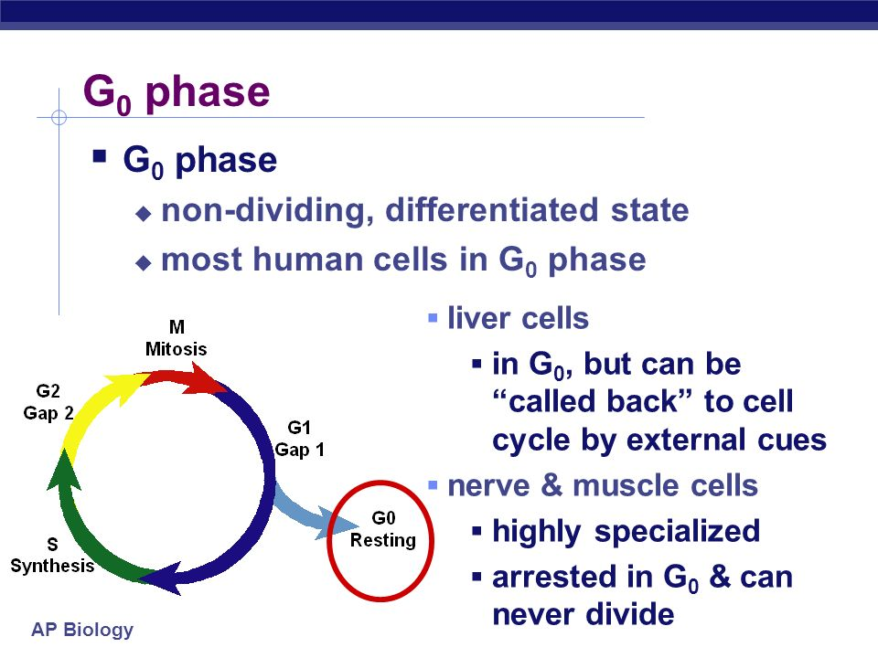 AP Biology G 0 phase non-dividing, differentiated state most human cells in G 0 phase liver cells in G 0, but can be called back to cell cycle by external cues nerve & muscle cells highly specialized arrested in G 0 & can never divide
