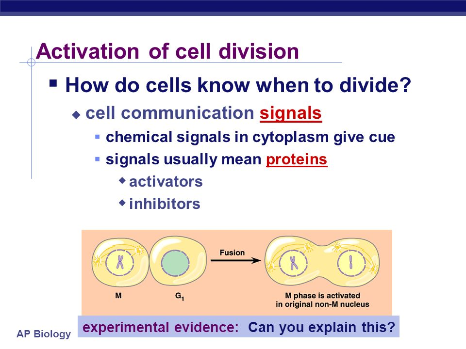AP Biology G 0 phase non-dividing, differentiated state most human cells in G 0 phase liver cells in G 0, but can be called back to cell cycle by exte