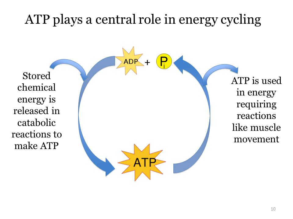 10 ATP plays a central role in energy cycling + Stored chemical energy is released in catabolic reactions to make ATP ATP is used in energy requiring