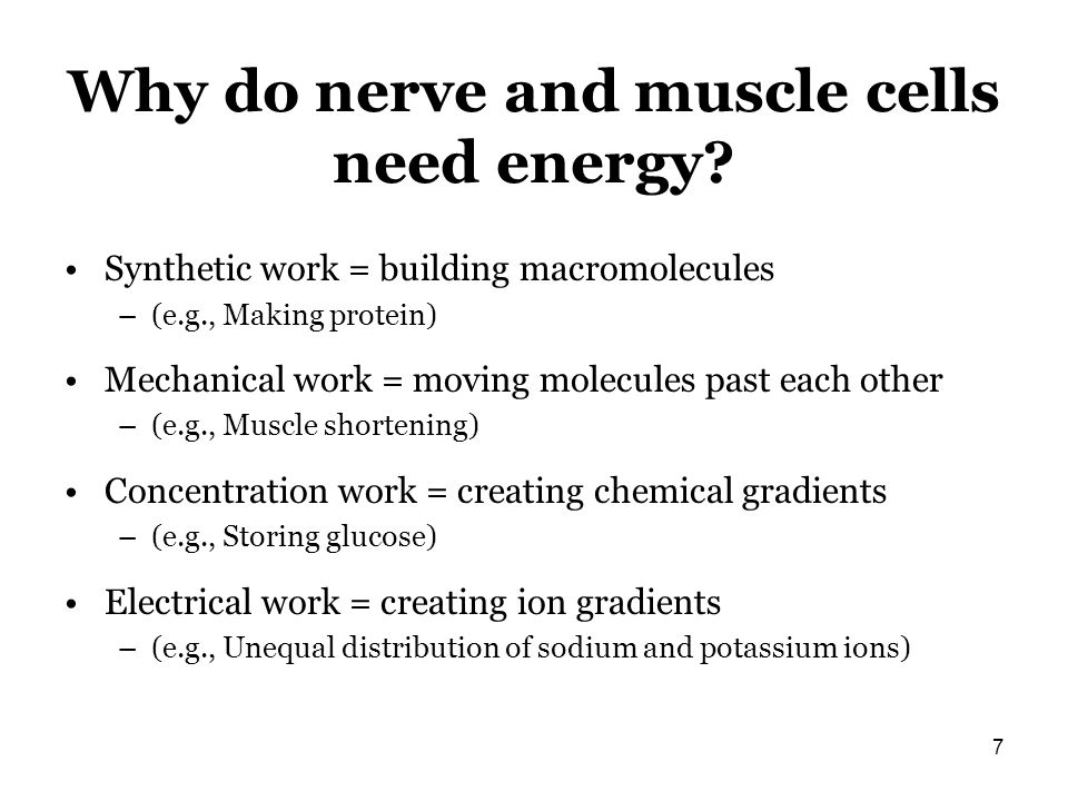 Why do nerve and muscle cells need energy? Synthetic work = building macromolecules –(e.g., Making protein) Mechanical work = moving molecules past ea
