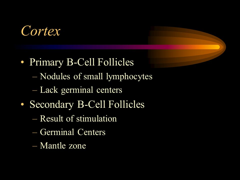 Germinal Centers Pale zone –toward antigen entry –small cleaved cells / centrocytes –follicular dendritic cells Dark zone –toward paracortex –large lymphoid cells / centroblasts –tingible body macrophages