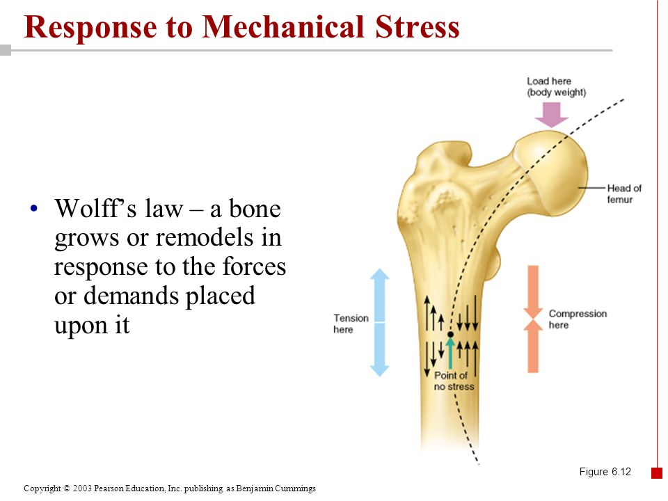 Copyright © 2003 Pearson Education, Inc. publishing as Benjamin Cummings Response to Mechanical Stress Wolffs law – a bone grows or remodels in respon