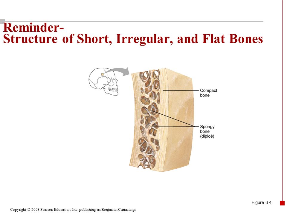 Copyright © 2003 Pearson Education, Inc. publishing as Benjamin Cummings Reminder- Structure of Short, Irregular, and Flat Bones Figure 6.4