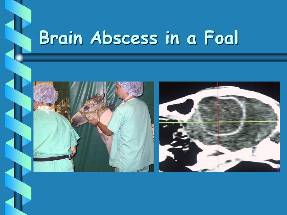 Brain Abscess in a Foal