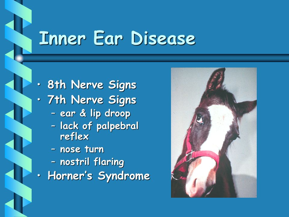 Inner Ear Disease 8th Nerve Signs8th Nerve Signs 7th Nerve Signs7th Nerve Signs –ear & lip droop –lack of palpebral reflex –nose turn –nostril flaring Horners SyndromeHorners Syndrome