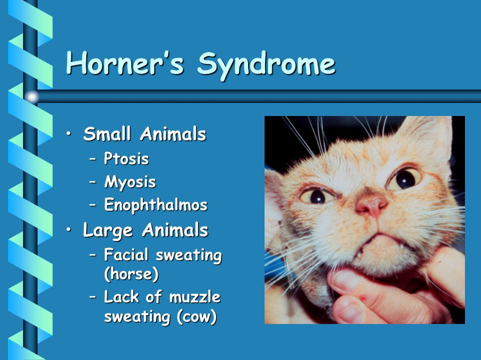 Horners Syndrome Small AnimalsSmall Animals –Ptosis –Myosis –Enophthalmos Large AnimalsLarge Animals –Facial sweating (horse) –Lack of muzzle sweating