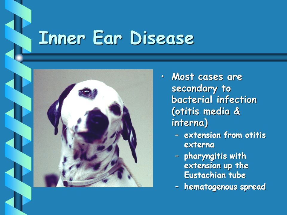 Inner Ear Disease Most cases are secondary to bacterial infection (otitis media & interna)Most cases are secondary to bacterial infection (otitis media & interna) –extension from otitis externa –pharyngitis with extension up the Eustachian tube –hematogenous spread