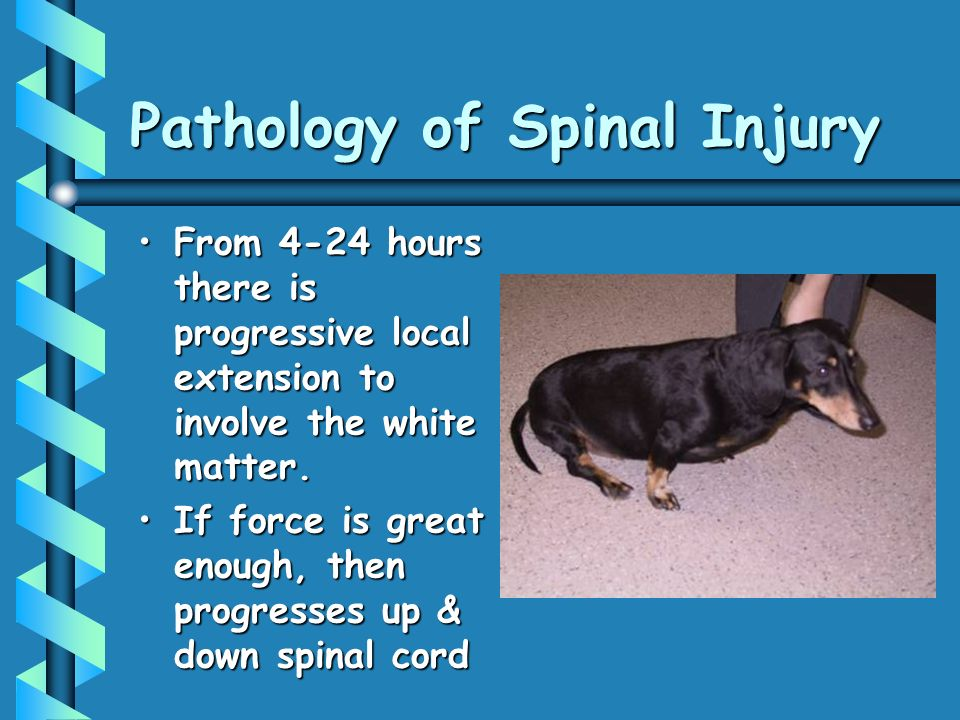 Pathology of Spinal Injury From 4-24 hours there is progressive local extension to involve the white matter.From 4-24 hours there is progressive local