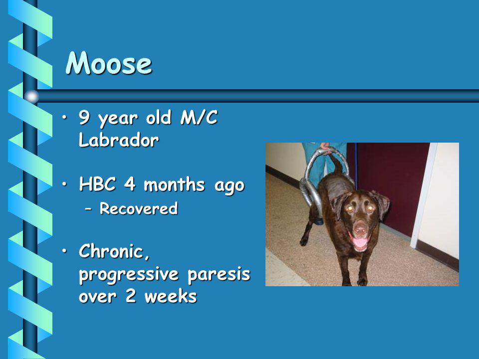 Moose 9 year old M/C Labrador9 year old M/C Labrador HBC 4 months agoHBC 4 months ago –Recovered Chronic, progressive paresis over 2 weeksChronic, progressive paresis over 2 weeks