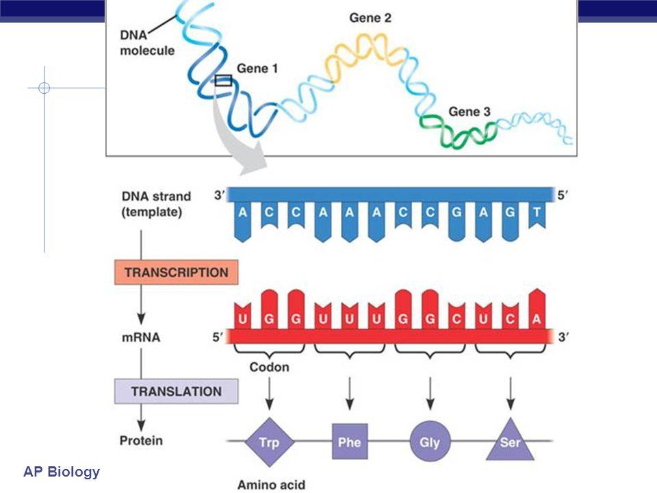 AP Biology DNA: TAC CTT GTG CAT GGG ATC mRNA AUG GAA CAC GUA CCC UAG A.A MET G.A HIS VAL PRO STOP