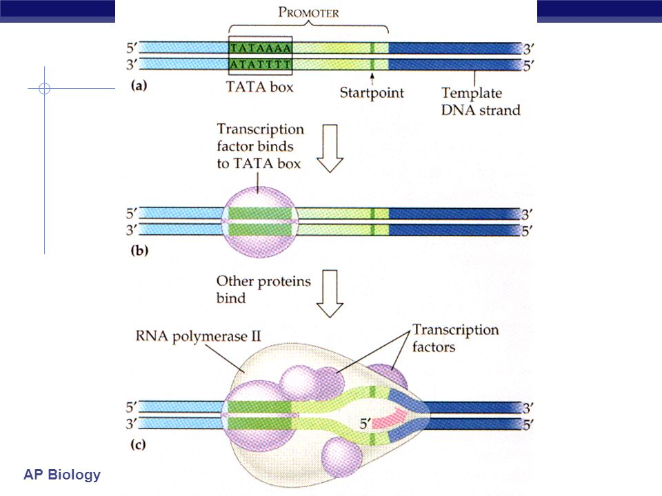RNA polymerases 3 RNA polymerase enzymes RNA polymerase 1 only transcribes rRNA genes makes ribosomes RNA polymerase 2 transcribes genes into mRNA RNA