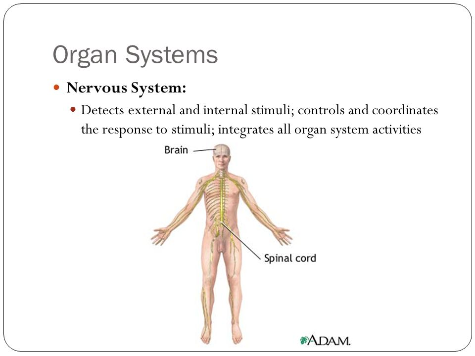 Organ Systems Nervous System: Detects external and internal stimuli; controls and coordinates the response to stimuli; integrates all organ system act