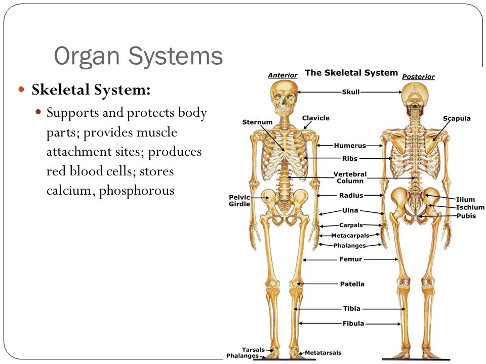 Organ Systems Skeletal System: Supports and protects body parts; provides muscle attachment sites; produces red blood cells; stores calcium, phosphoro