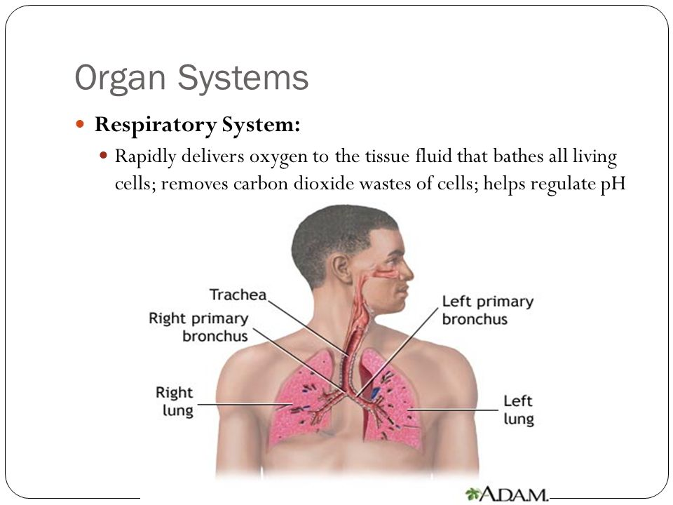 Organ Systems Respiratory System: Rapidly delivers oxygen to the tissue fluid that bathes all living cells; removes carbon dioxide wastes of cells; he