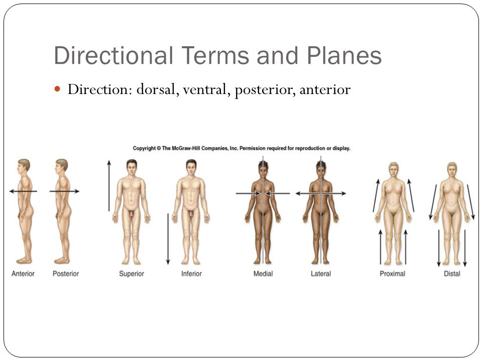 Directional Terms and Planes Direction: dorsal, ventral, posterior, anterior