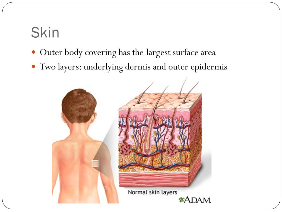 Skin Outer body covering has the largest surface area Two layers: underlying dermis and outer epidermis