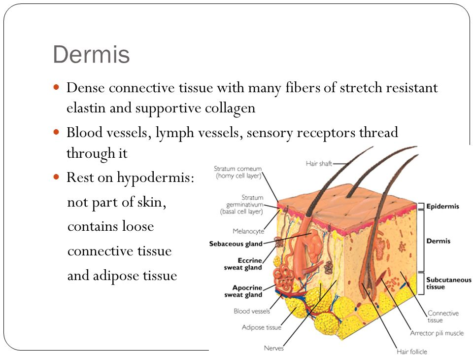 Dermis Dense connective tissue with many fibers of stretch resistant elastin and supportive collagen Blood vessels, lymph vessels, sensory receptors t