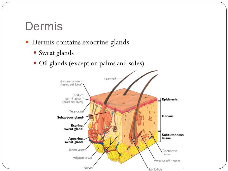 Dermis Dermis contains exocrine glands Sweat glands Oil glands (except on palms and soles)