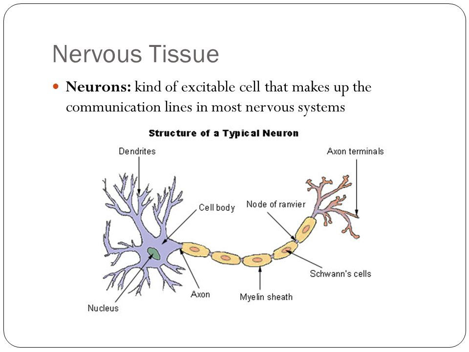 Nervous Tissue Neurons: kind of excitable cell that makes up the communication lines in most nervous systems