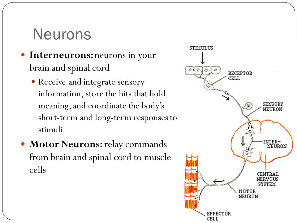 Neurons Interneurons: neurons in your brain and spinal cord Receive and integrate sensory information, store the bits that hold meaning, and coordinat