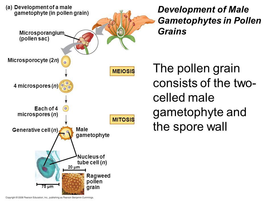 (a)Development of a male gametophyte (in pollen grain) Microsporangium (pollen sac) Microsporocyte (2n) 4 microspores (n) Each of 4 microspores (n) Ma