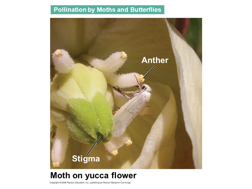Pollination by Moths and Butterflies Moth on yucca flower Anther Stigma