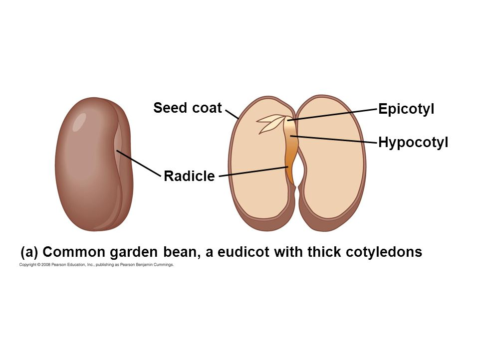 Epicotyl Hypocotyl Radicle Seed coat (a) Common garden bean, a eudicot with thick cotyledons