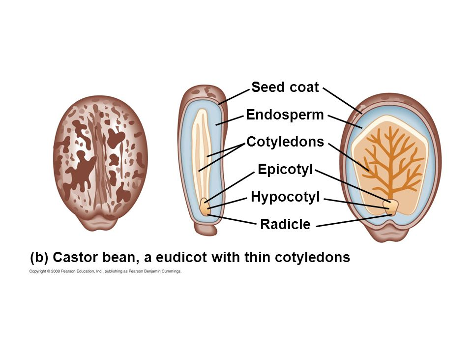 Seed coat Endosperm Cotyledons Epicotyl Hypocotyl Radicle (b) Castor bean, a eudicot with thin cotyledons