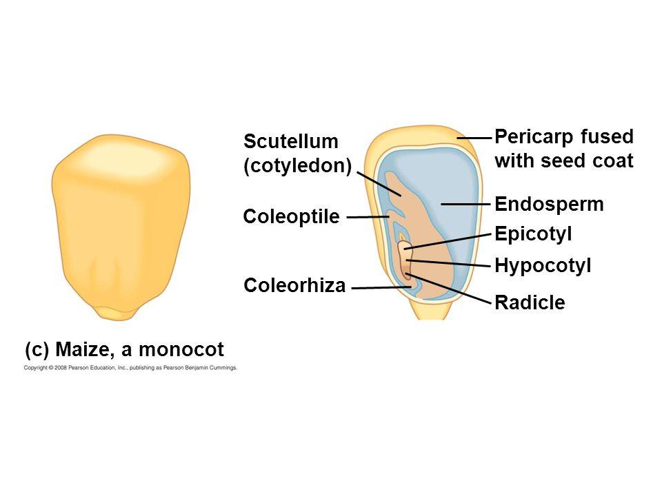 (c) Maize, a monocot Scutellum (cotyledon) Pericarp fused with seed coat Endosperm Epicotyl Hypocotyl Coleoptile Radicle Coleorhiza