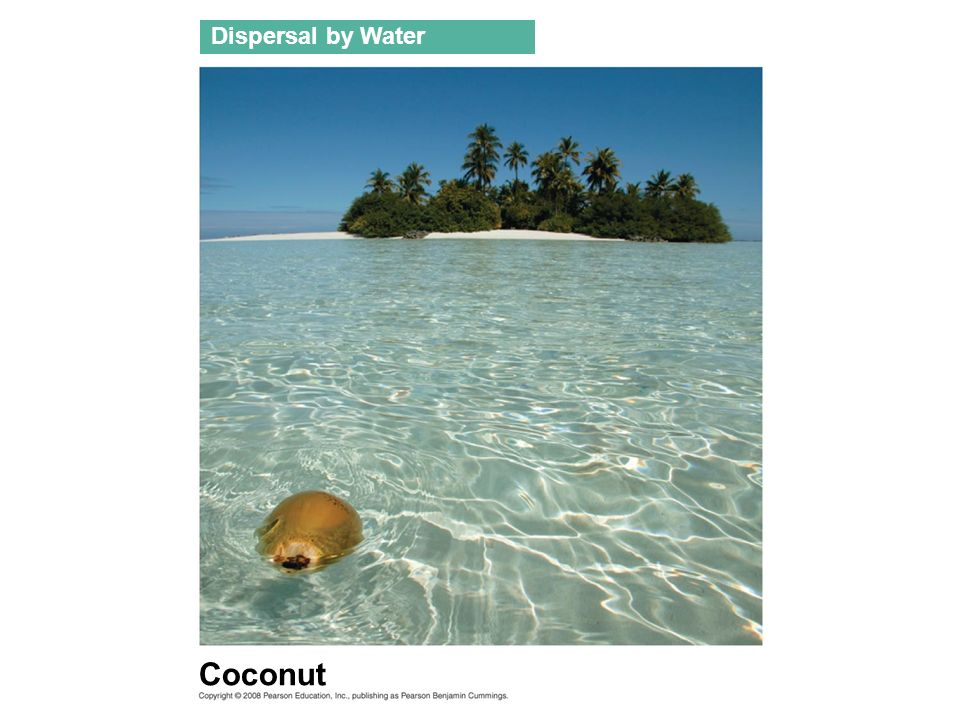 Coconut Dispersal by Water