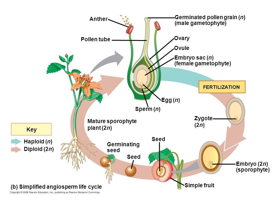 Anther Pollen tube Germinated pollen grain (n) (male gametophyte) Ovary Ovule Embryo sac (n) (female gametophyte) Egg (n) Sperm (n) Zygote (2n) Seed E