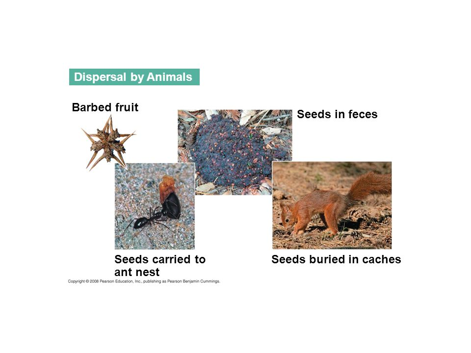 Dispersal by Animals Seeds carried to ant nest Seeds buried in caches Seeds in feces Barbed fruit