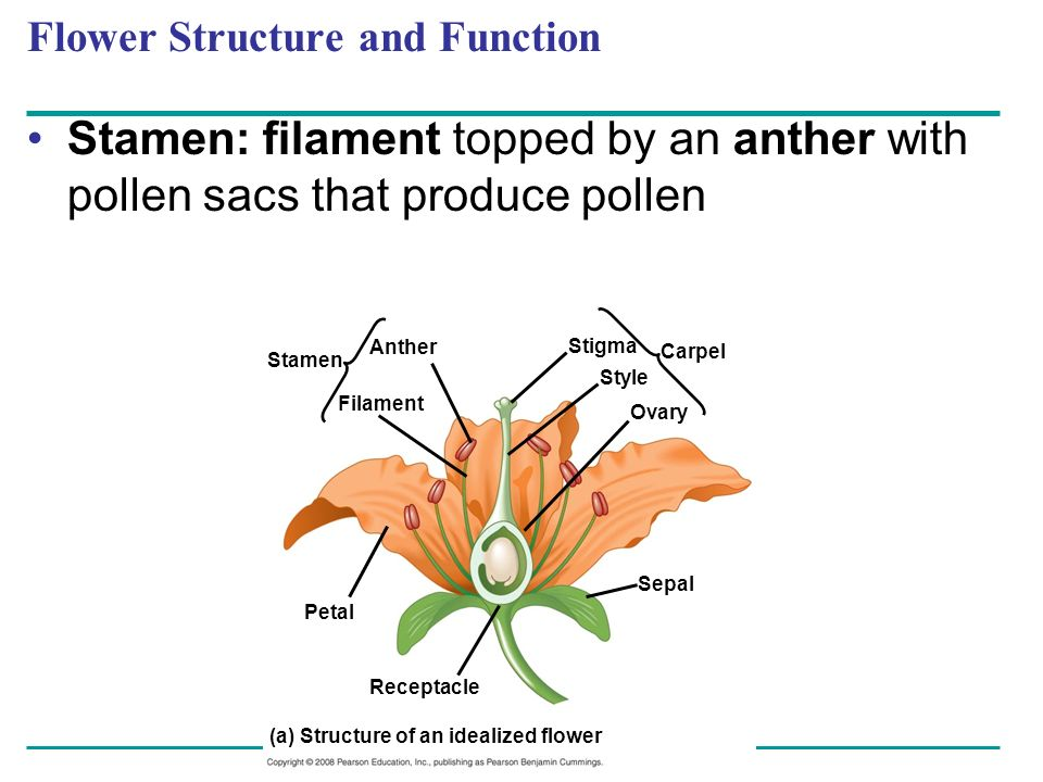 Flower Structure and Function Stamen: filament topped by an anther with pollen sacs that produce pollen Stamen Anther Filament Stigma Carpel Style Ova