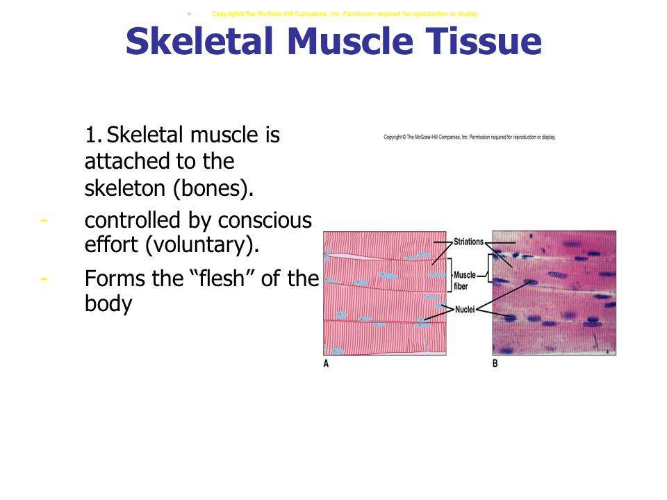 Skeletal Muscle Tissue 1.Skeletal muscle is attached to the skeleton (bones).