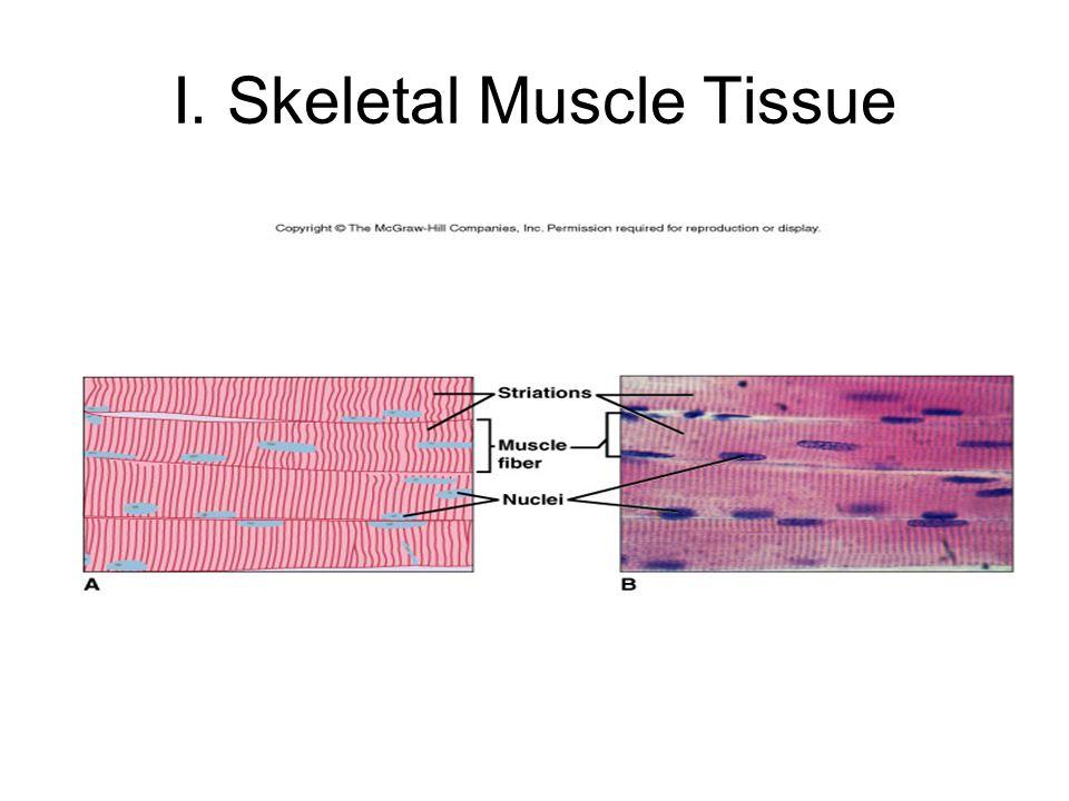 I. Skeletal Muscle Tissue