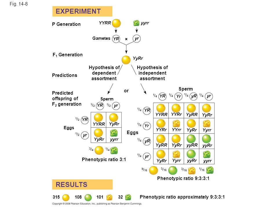 Fig. 14-8 EXPERIMENT RESULTS P Generation F 1 Generation Predictions Gametes Hypothesis of dependent assortment YYRRyyrr YR yr YyRr Hypothesis of inde