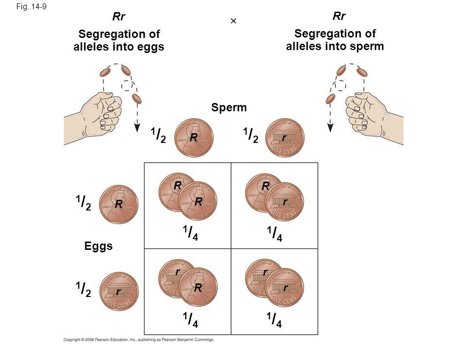 Fig. 14-9 Rr Segregation of alleles into eggs Sperm R R R R R R r r r r r r 1/21/2 1/21/2 1/21/2 1/21/2 Segregation of alleles into sperm Eggs 1/41/4