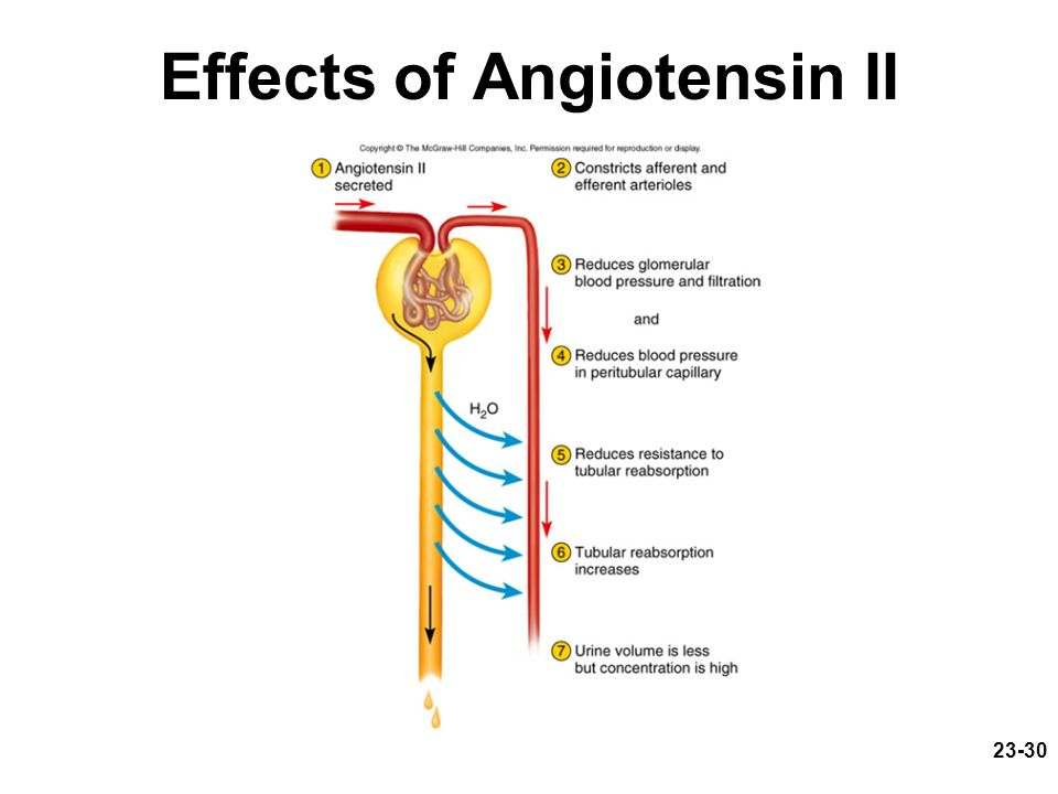 23-30 Effects of Angiotensin II