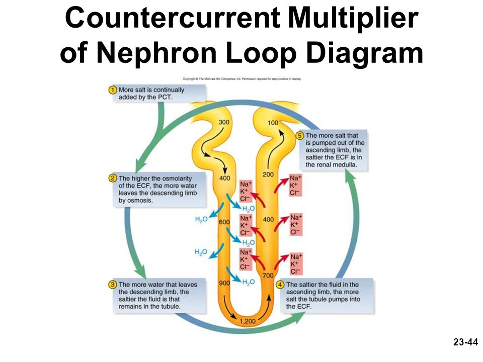 23-44 Countercurrent Multiplier of Nephron Loop Diagram